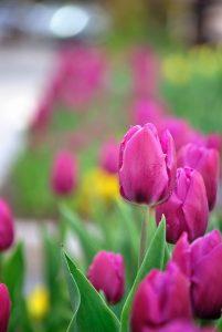 tulips-in-spring